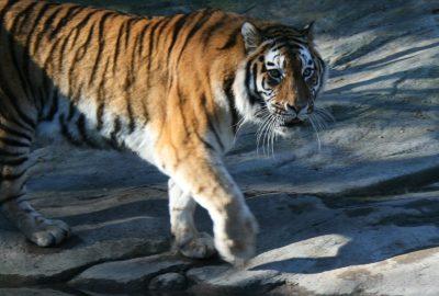 Tiger im Zoo Zürich