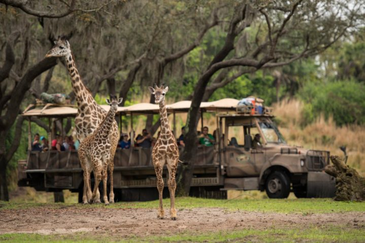"Guests at Disney's Animal Kingdom at Walt Disney World Resort in Lake Buena Vista, Florida, may be able to spot a new addition on the Kilimanjaro Safaris savanna. A 2-month-old male Masai giraffe named Jabari (center) has officially joined the giraffe herd. Jabari, which means ""brave one"" in Swahili, is a bold, curious and courageous calf and his name celebrates his spirit. Standing seven feet tall, Jabari has spent the past two months bonding with his mom, Mara, in a backstage habitat. True to his name, Jabari has quickly reached all his key developmental milestones, so on March 12, 2019, he was reintroduced to the savanna and his tower – otherwise known as a group of giraffe. Jabari has several special distinctions; he is the first giraffe calf to be born on the savanna at Disney's Animal Kingdom, and he has a special heart-shaped spot on his neck. (David Roark, photographer)"