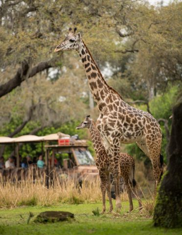 "Guests at Disney's Animal Kingdom at Walt Disney World Resort in Lake Buena Vista, Florida, may be able to spot a new addition on the Kilimanjaro Safaris savanna. A 2-month-old male Masai giraffe named Jabari has officially joined the giraffe herd. Jabari, which means ""brave one"" in Swahili, is a bold, curious and courageous calf and his name celebrates his spirit. Standing seven feet tall, Jabari has spent the past two months bonding with his mom, Mara, in a backstage habitat. True to his name, Jabari has quickly reached all his key developmental milestones, so on March 12, 2019, he was reintroduced to the savanna and his tower – otherwise known as a group of giraffe. Jabari has several special distinctions; he is the first giraffe calf to be born on the savanna at Disney's Animal Kingdom, and he has a special heart-shaped spot on his neck. (David Roark, photographer)"