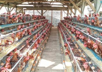 Pemkab Bandung akan budidyakan ayam petelur untuk memenuhi kebutuhan masyarakat (Foto: Verawati/dara.co.id)