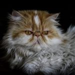 Few Fascination Facts about Persian Cats