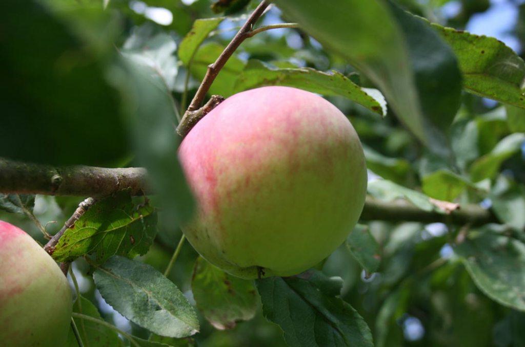 Äpfel am Baum Fotografie