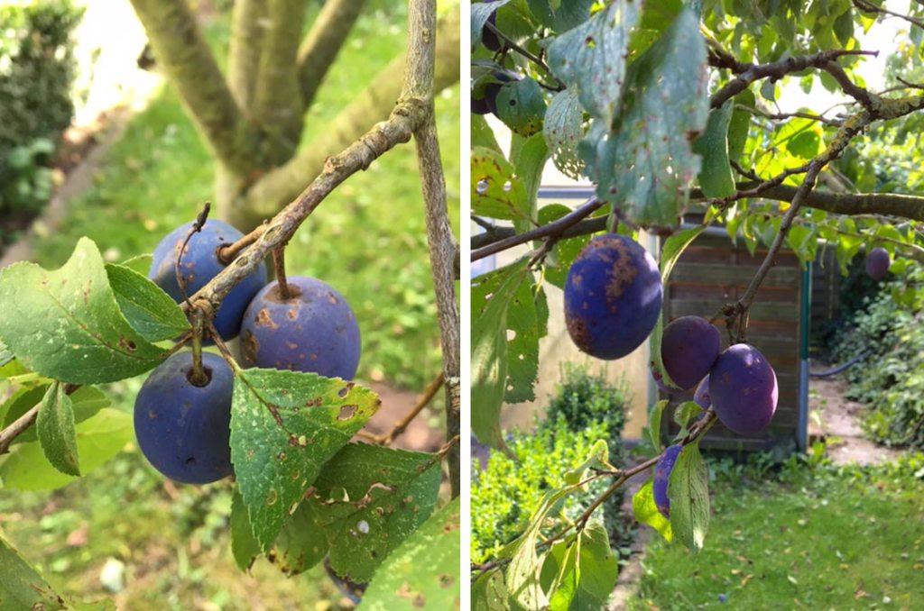 Pflaumen vom Baum, Bild aus dem Garten