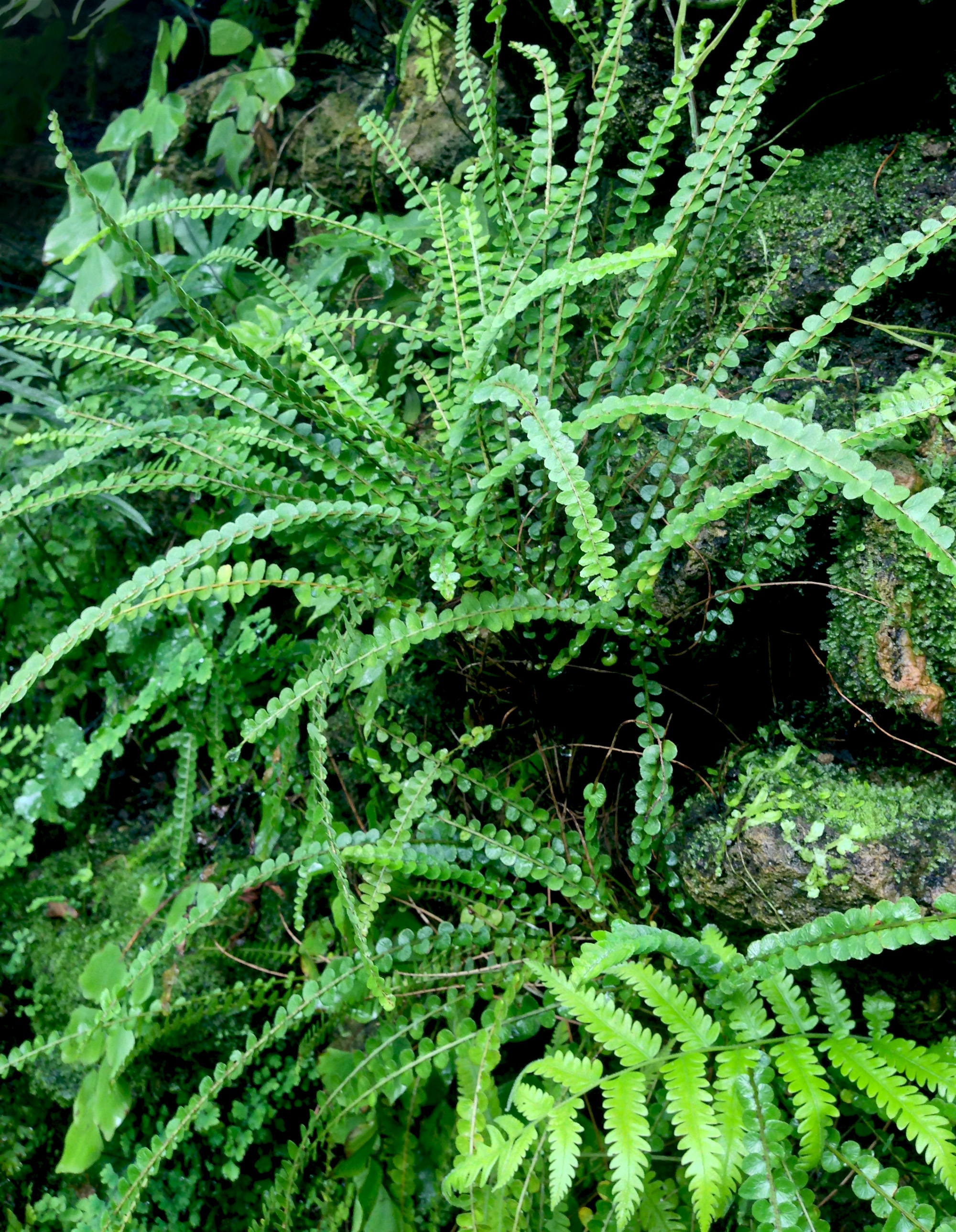 Button fern (Pellaea rotundifolia), Fern room, Scheelea Palm