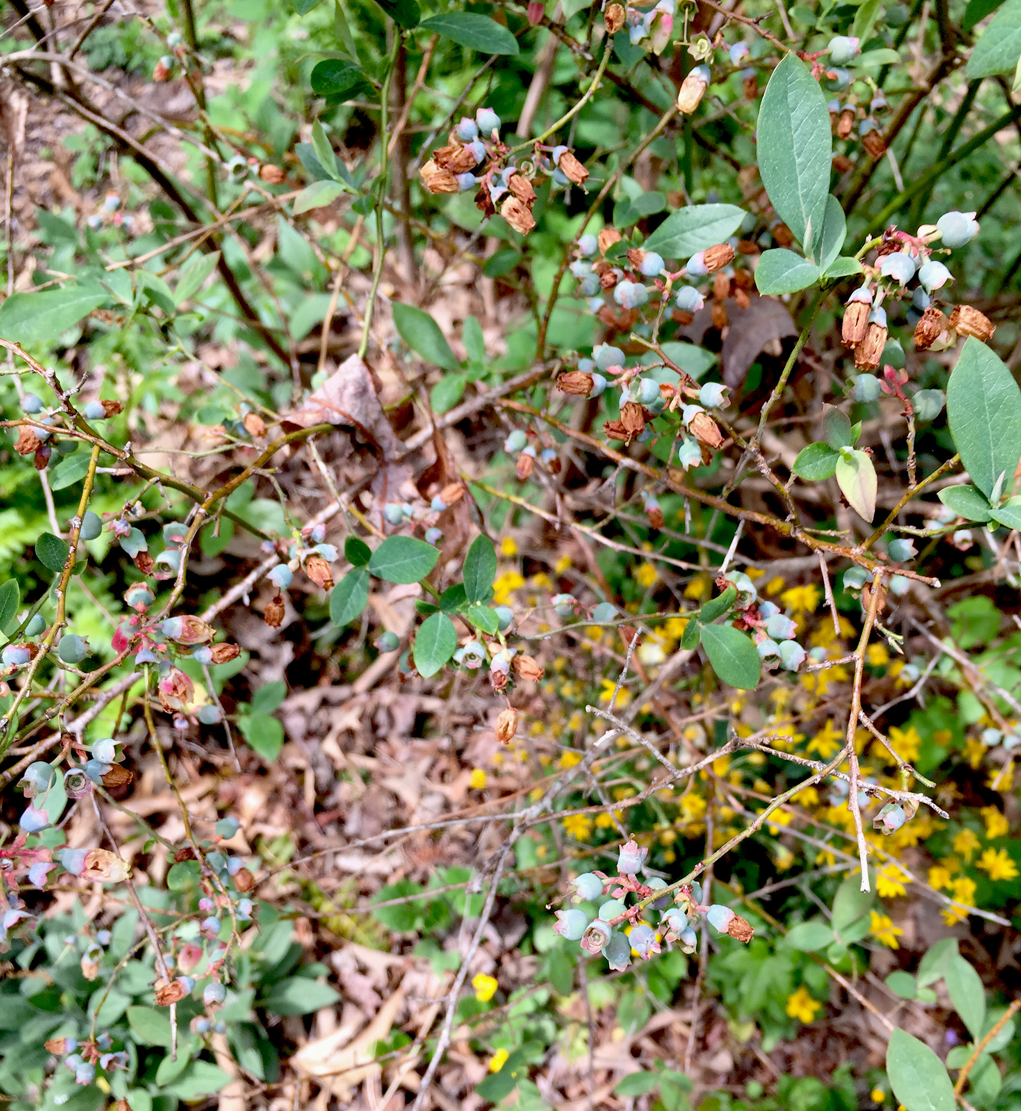 Tiny blueberries, Asheville Botanical Garden / Darker than Green