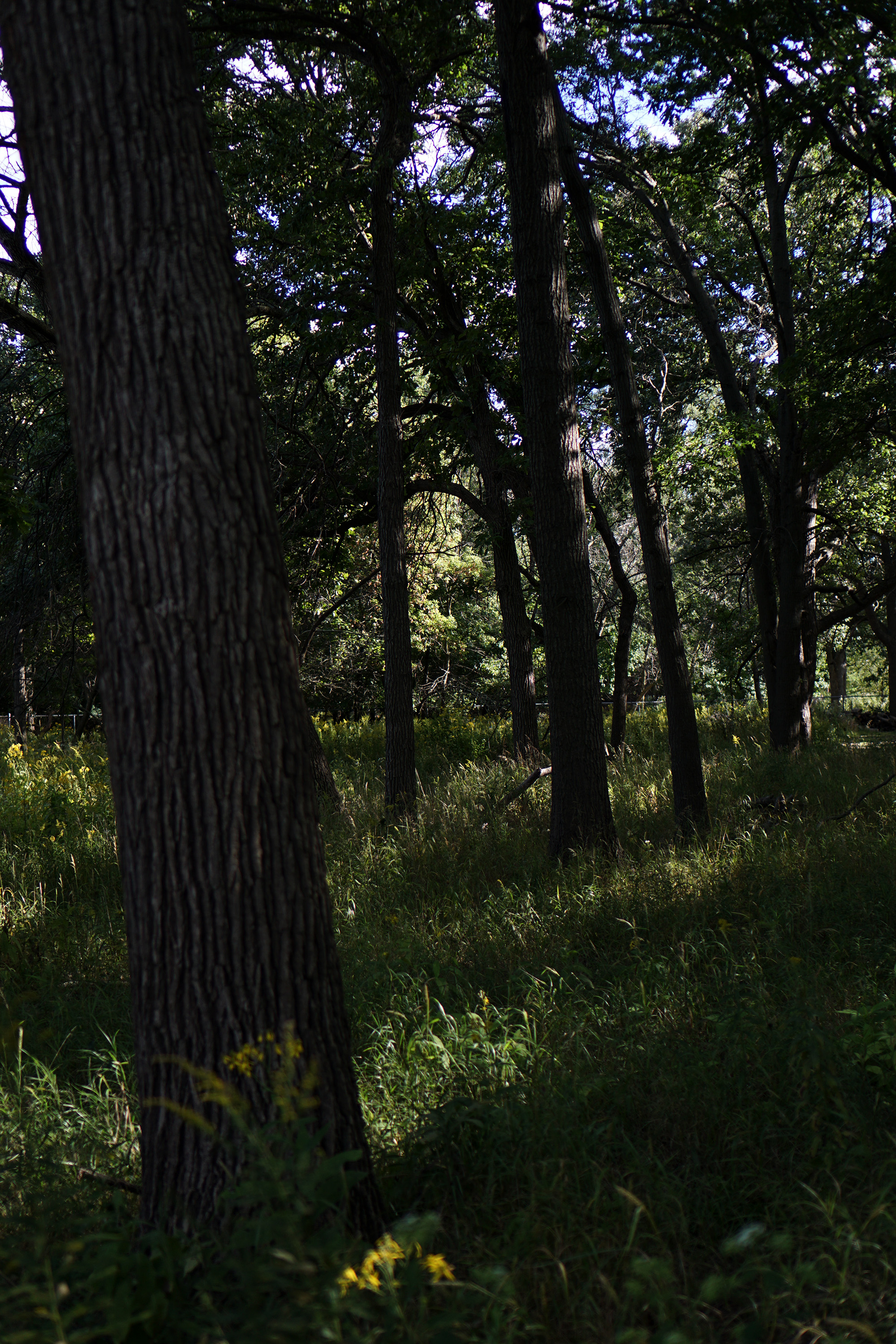 Tall trees, North Park Village Nature Center / Darker than Green