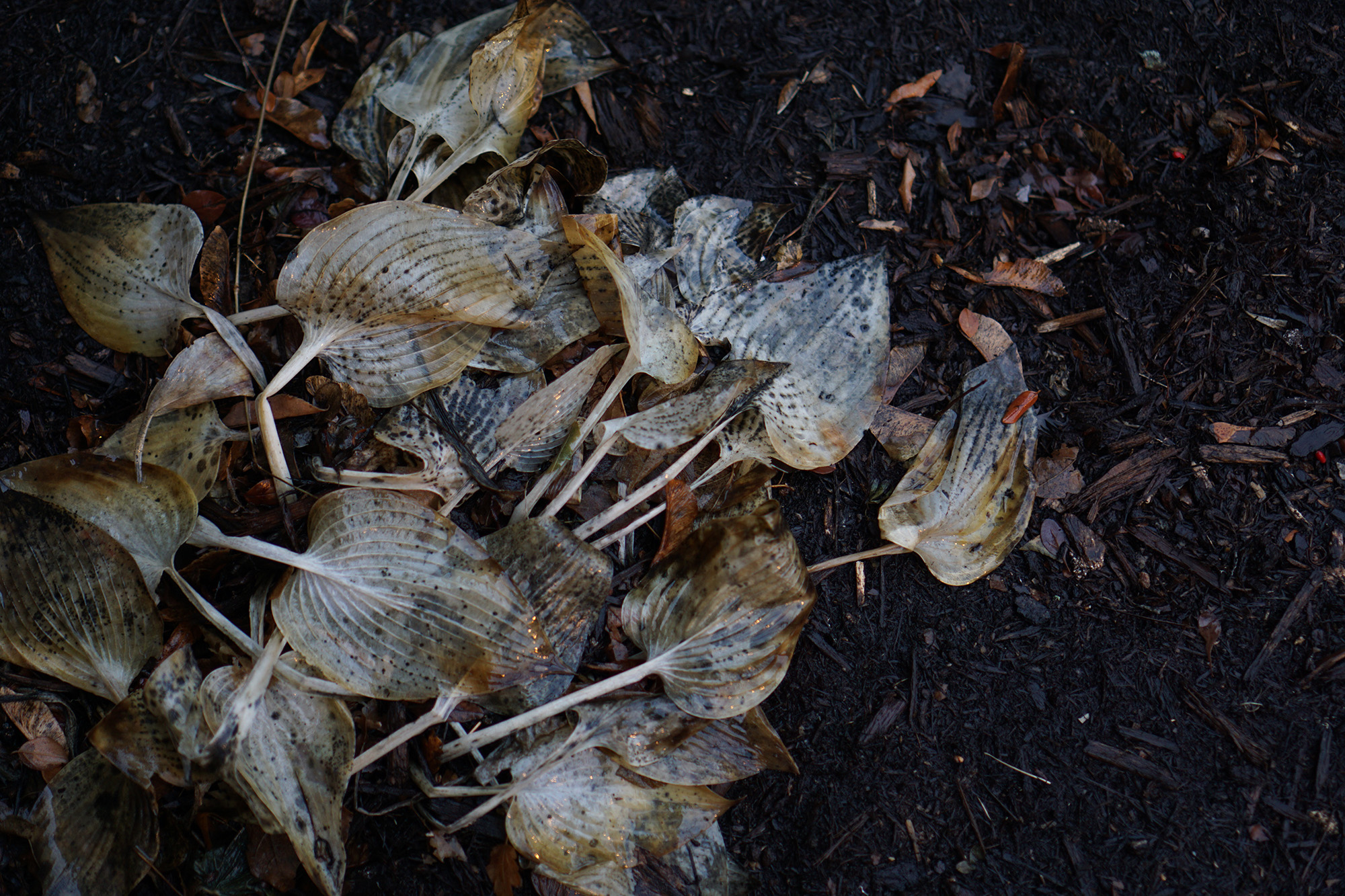 Hosta in winter, Chicago / Darker than Green