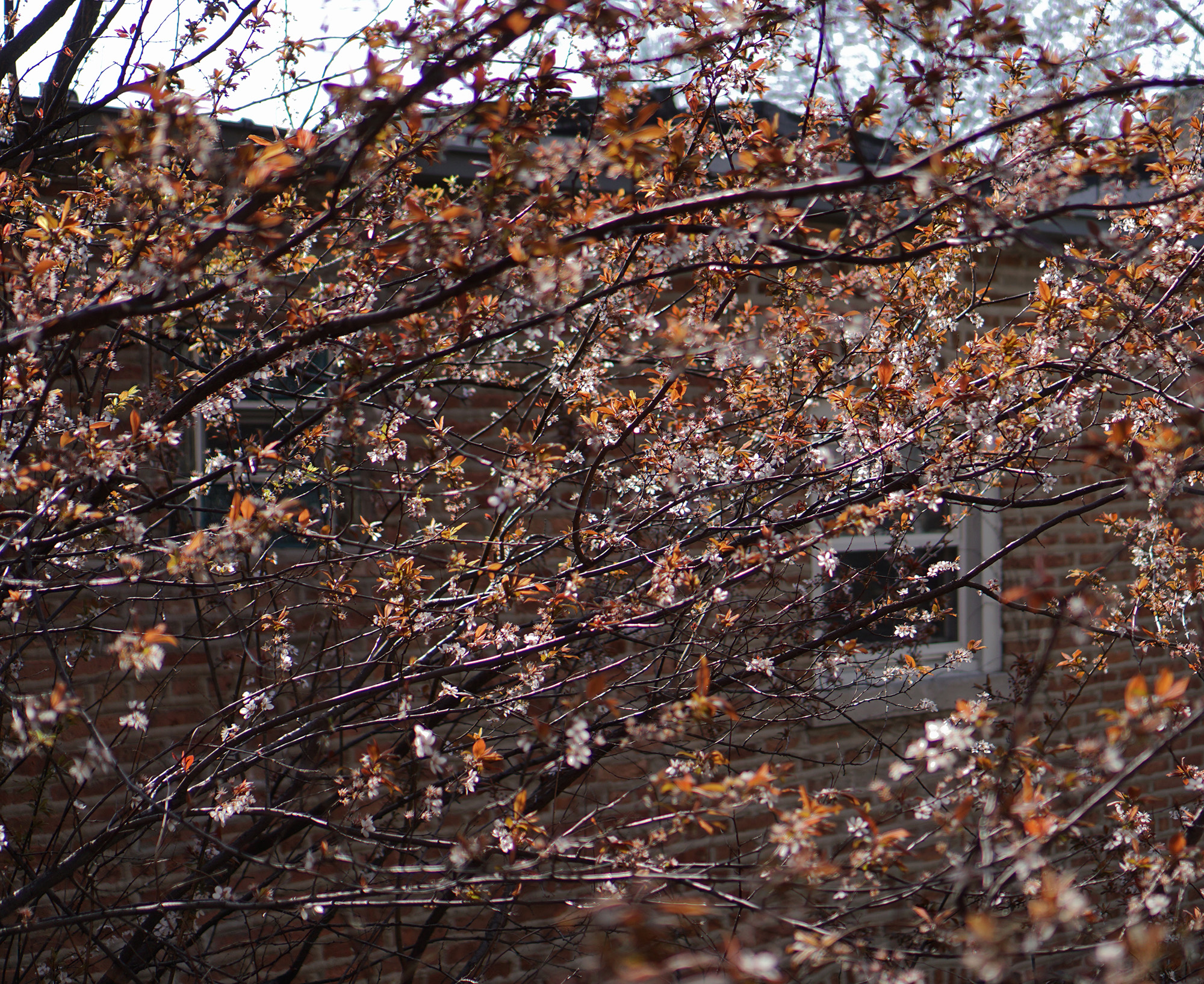Purpleleaf Plum tree (Prunus cerasifera) with new leaves in spring, Chicago IL / Darker than Green