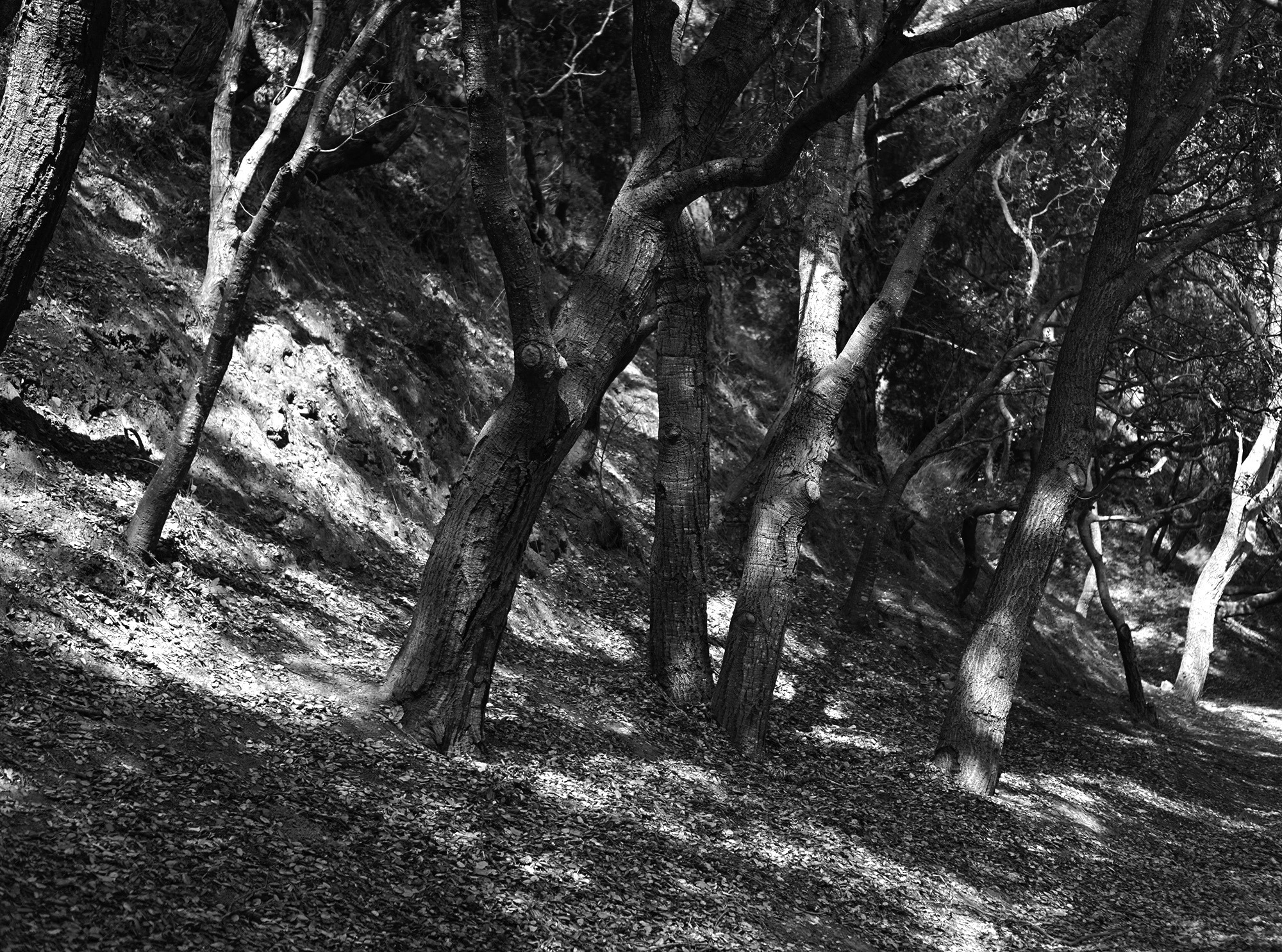 Oak trees in Shepherd Canyon Park, Oakland California / Darker than Green