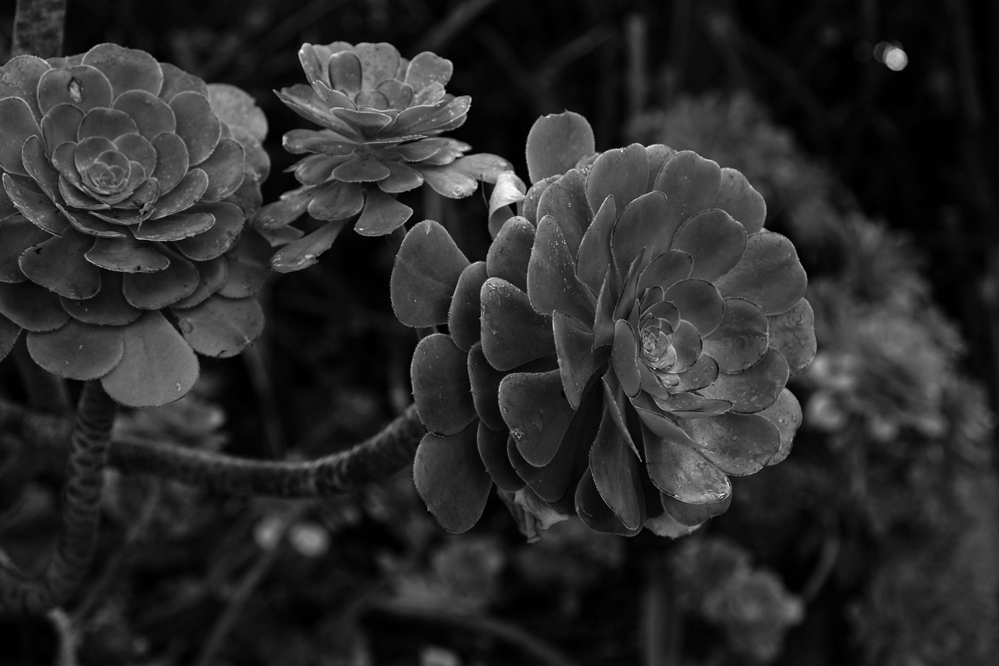 Aeoniums, San Francisco Botanical Garden / Darker than Green