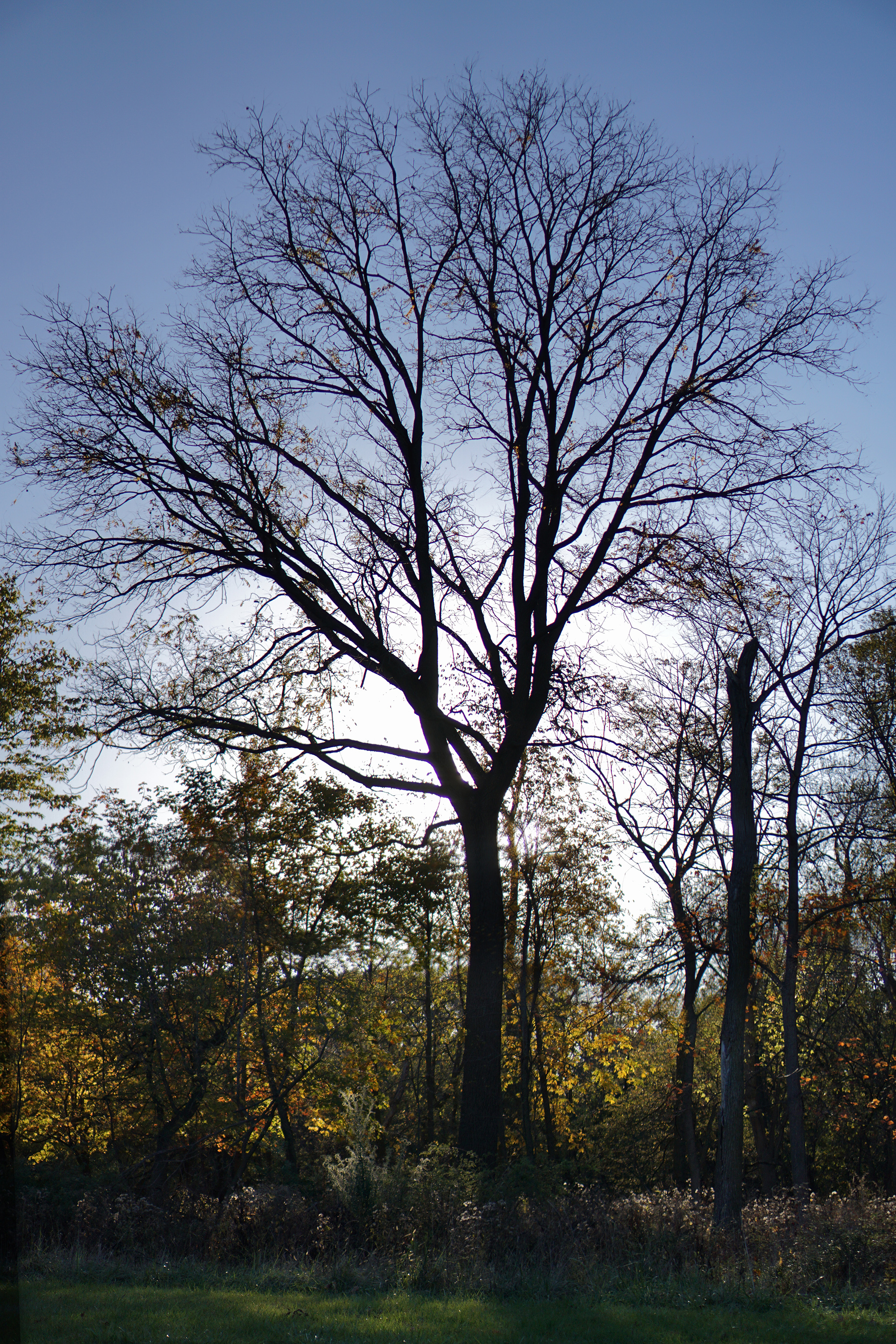 Large tree without leaves silhouetted against the late afternoon light, Miami Woods, Morton Grove Illinois / Darker than Green