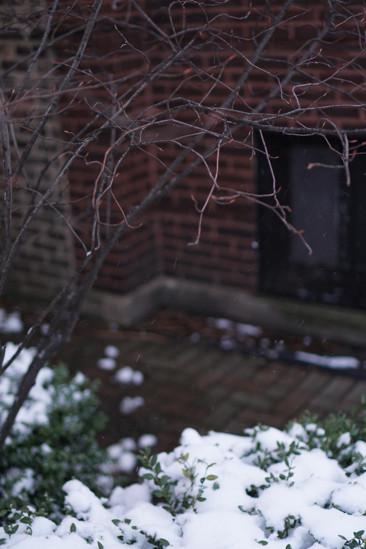 Serviceberry tree in winter, Chicago IL / Darker than Green