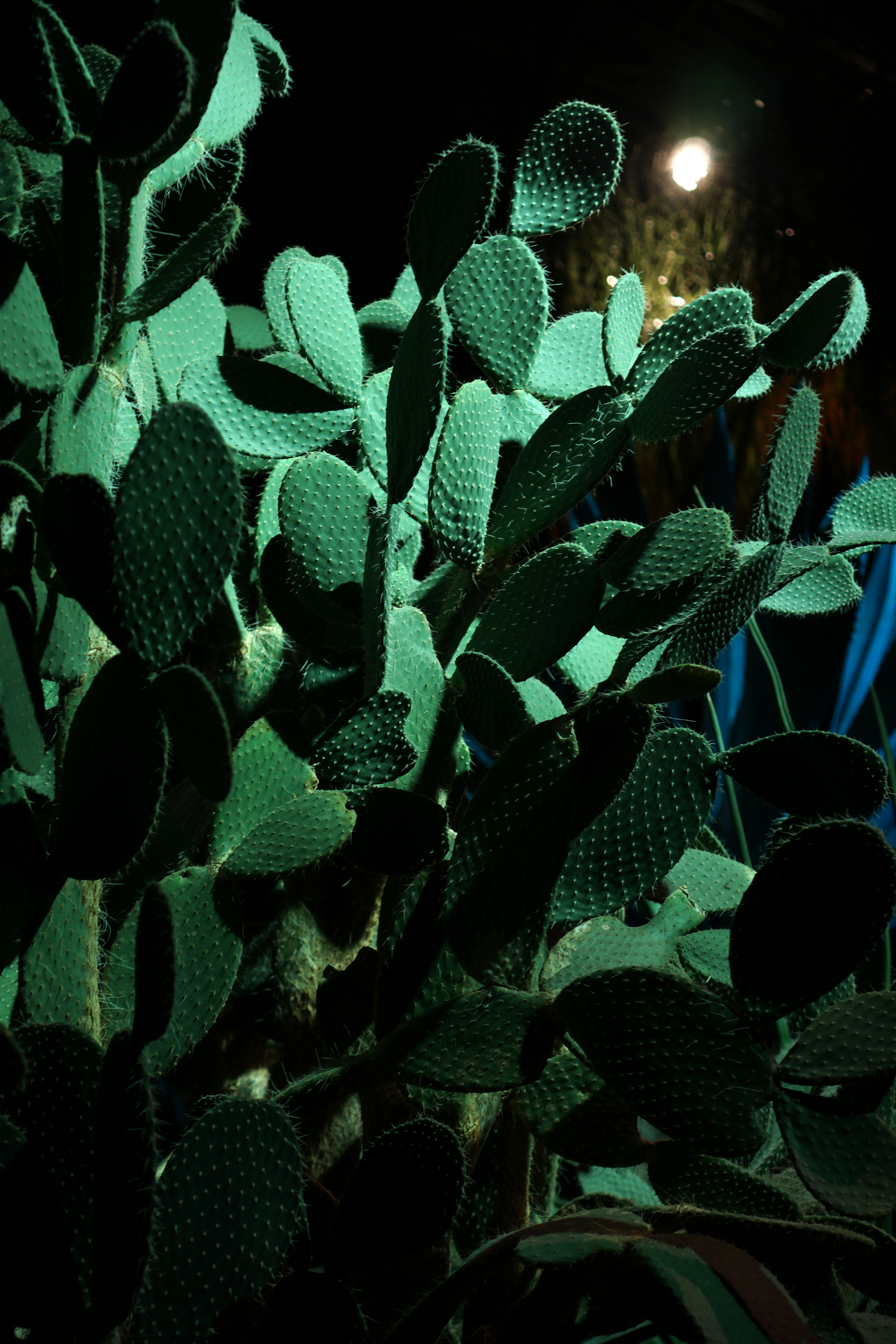 Cactus in the desert room, Garfield Park Conservatory at night, Chicago / Darker than Green