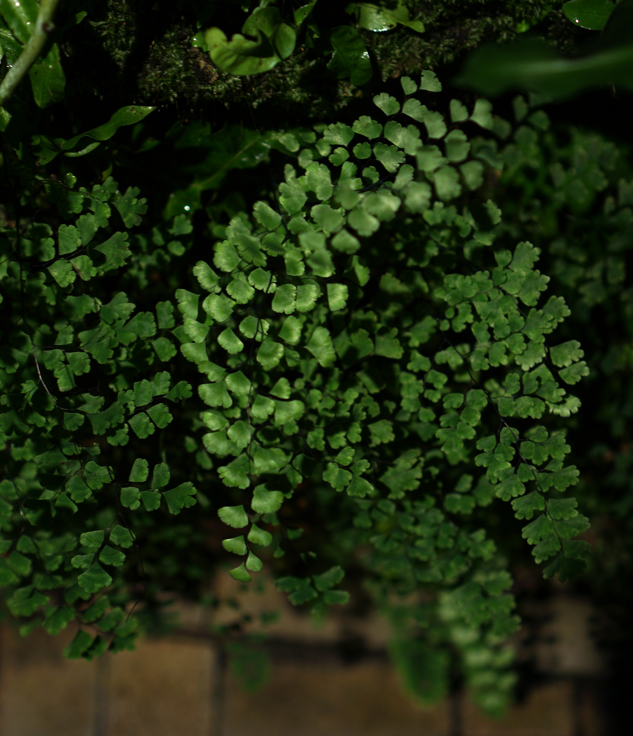Maidenhair fern, Garfield Park Conservatory at night, Chicago / Darker than Green