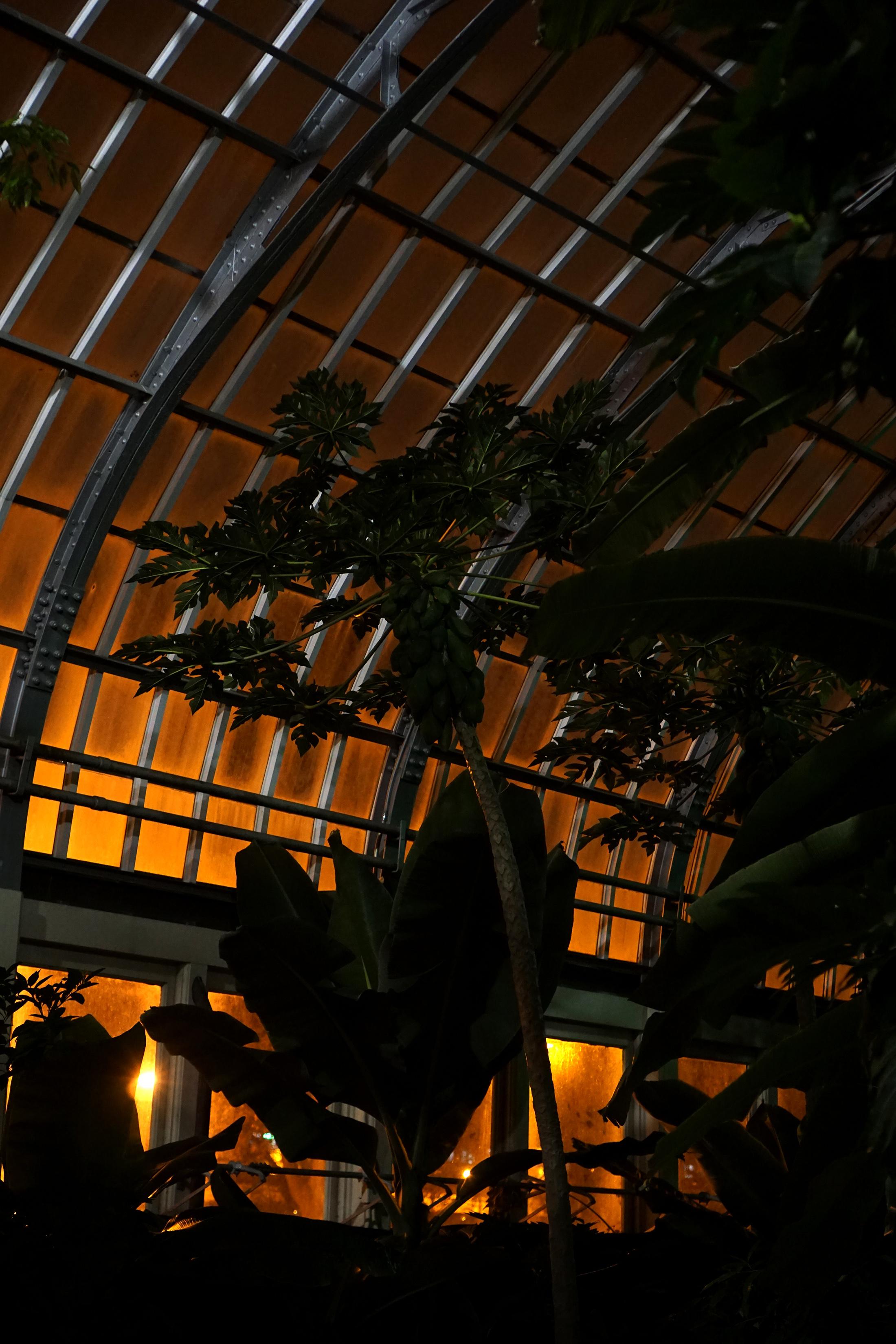 Papaya plant backlit, Garfield Park Conservatory at night, Chicago / Darker than Green