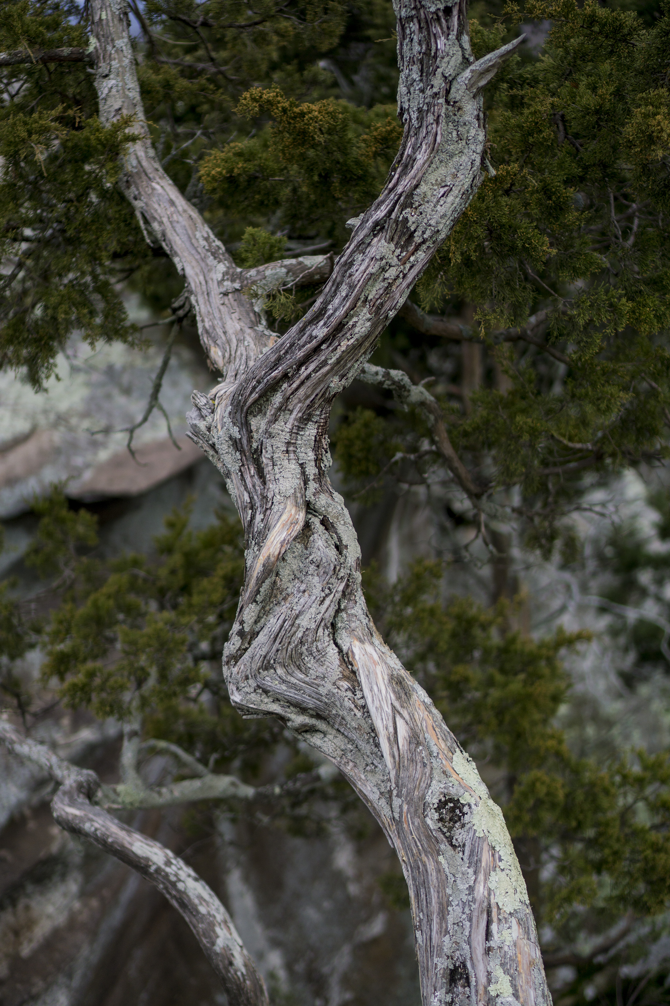 Juniper trunk in Shawnee National Forest / Darker than Green