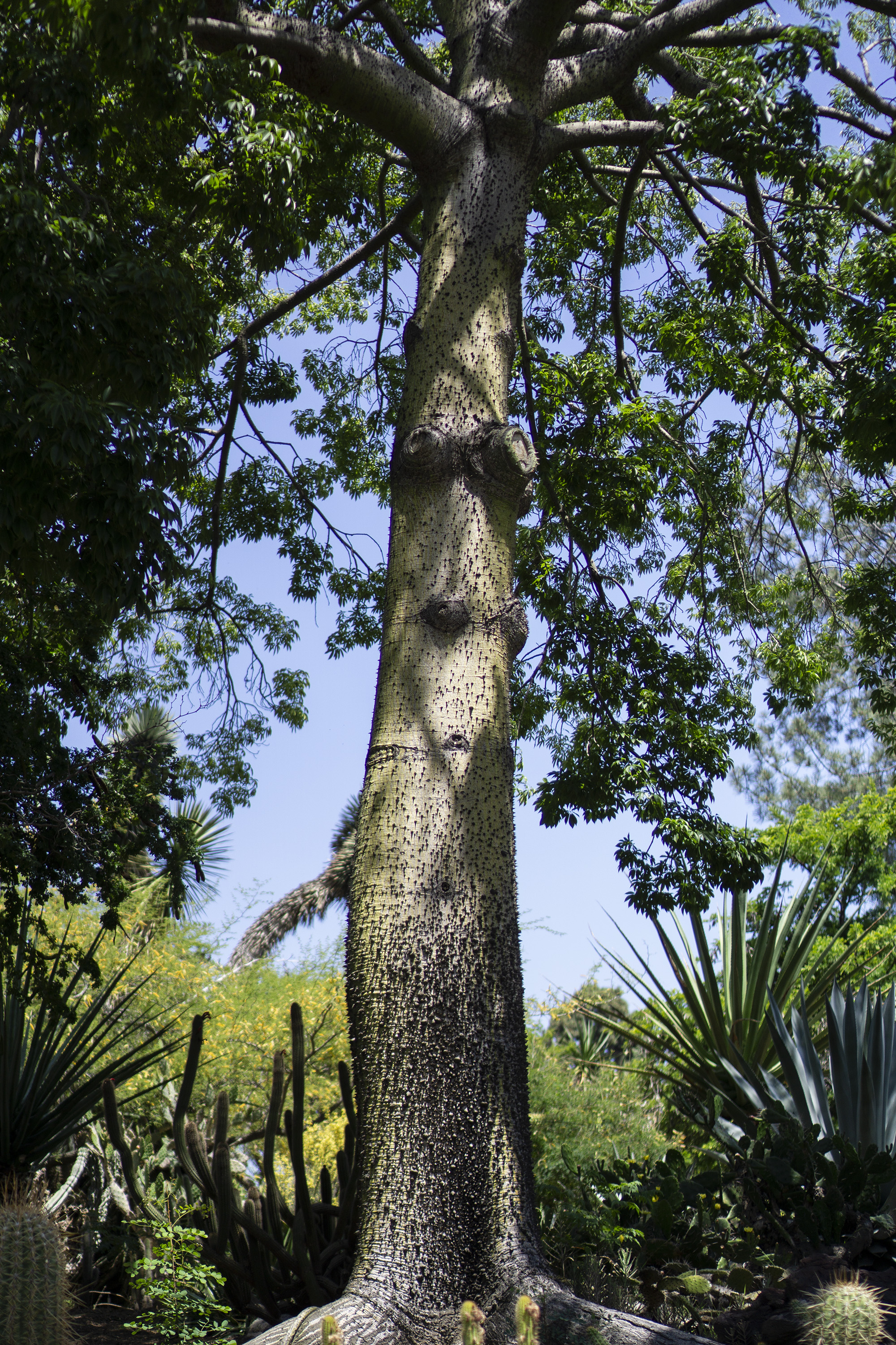 Giant floss silk tree, Desert Garden, Huntington Library, San Marino CA / Darker than Green