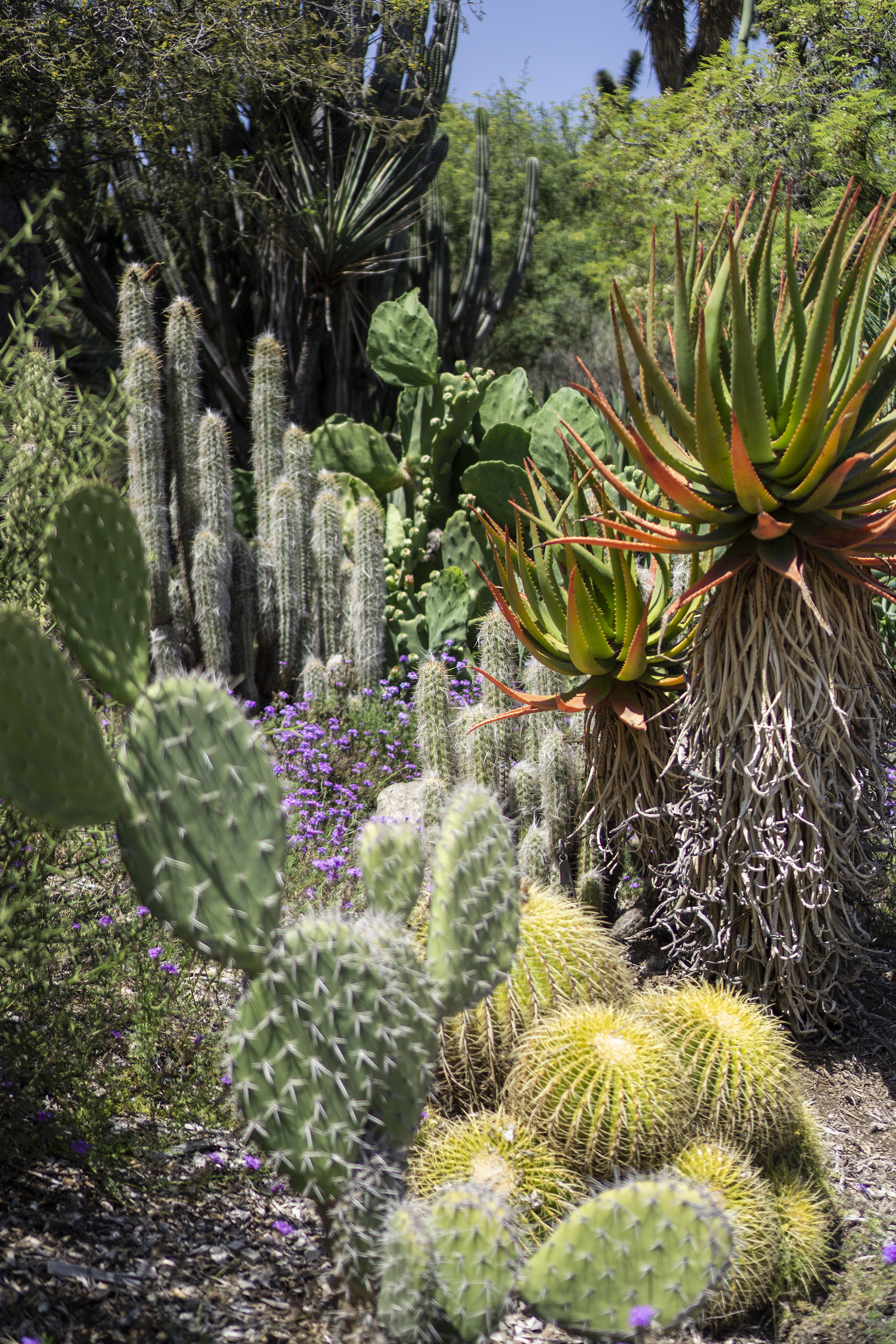 Multi-colored succulents, Desert Garden, Huntington Library, San Marino CA / Darker than Green