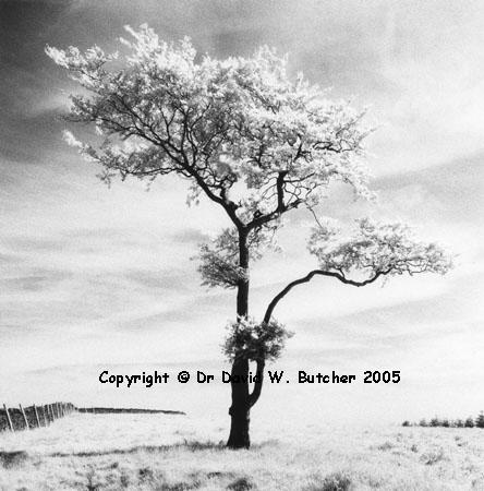 Lone Tree #3, Goyt Valley