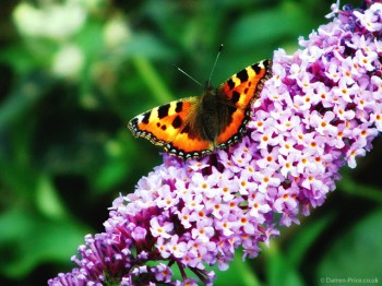 A Butterfly on a pink leaved plant
