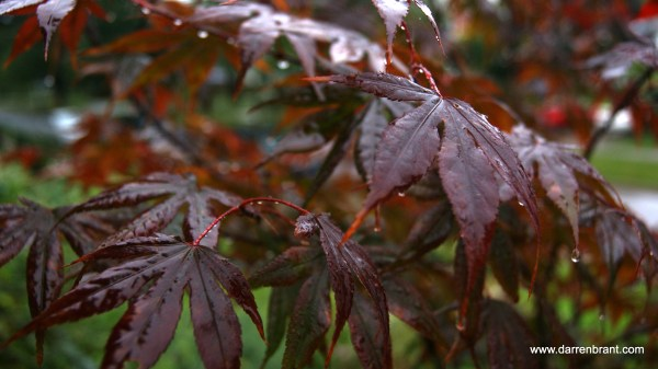 Japanese Maple during the Rain