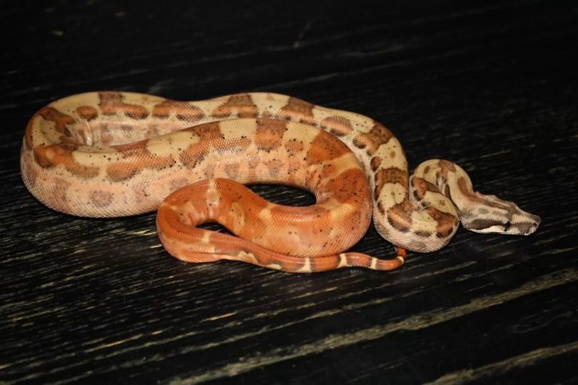 Hypo Motley Central American Boa