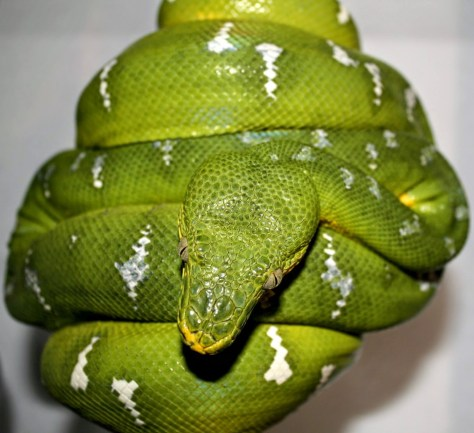 Northern Emerald Tree Boa