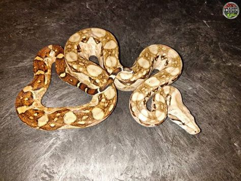 There's nothing like a Nicaraguan Boa (Boa constrictor imperator)