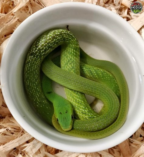 One of our Green Bush Rat Snakes (Gonyosoma prasinus)