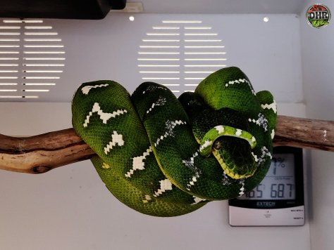 Youre not supposed to wrap your own head silly! Emerald Tree Boa (Corallus caninus).