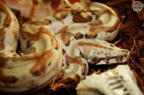 A freshly shed Super Hypo Nicaraguan Boa (Boa constrictor imperator)