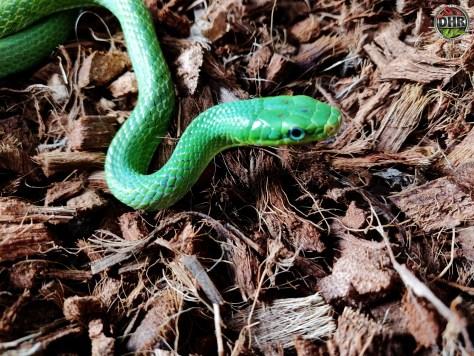 Slowly growing up - Green Bush Rat Snakes (Gonyosoma prasinum)