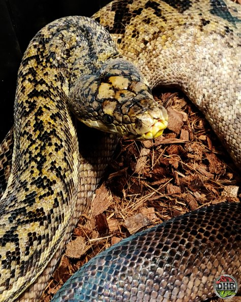 Pictures of this old girl never get old. Timor Python