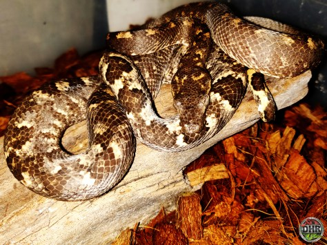 An adult male Solomon Isle Tree Boa (Candoia bibroni)