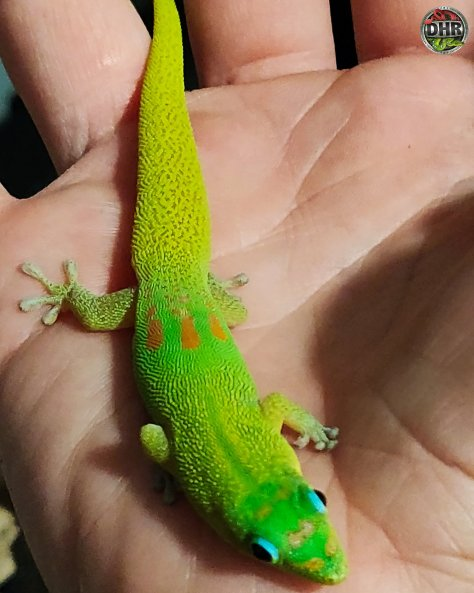 Love these Gold Dust Day Geckos (Phelsuma laticauda)