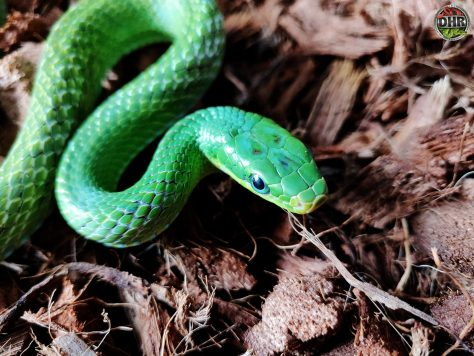 Closeup of a Green Bush Rat Snake