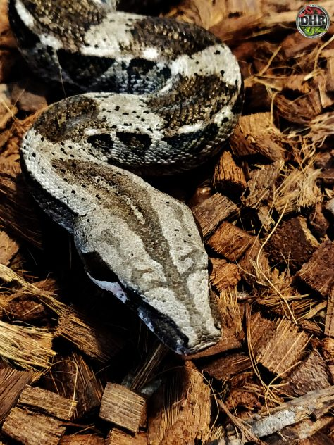 Adult Caulker Cay Boa