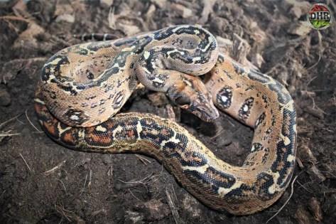Central American Locality Leopard Boa (Boa imperator)
