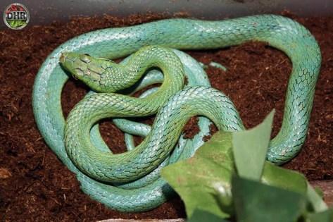 Rein Snake (Gonyosoma frenatum)