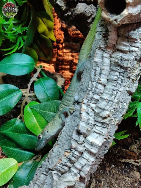 Koch's day gecko hanging out on a cork log (Phelsuma kochi)