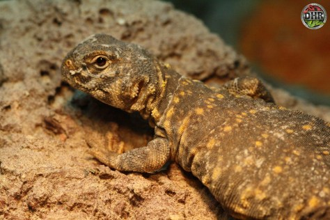 A young Uromastyx Sunbathing