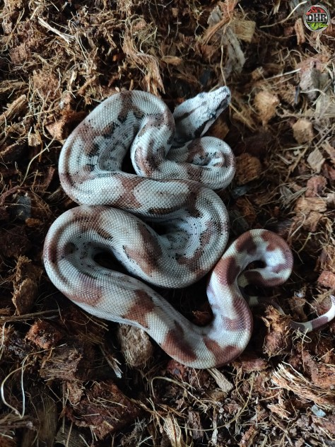 CA Boas available for rehoming
