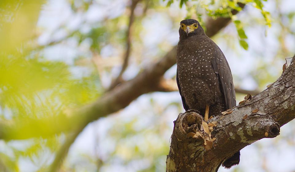 Andaman-Serpent-Eagle