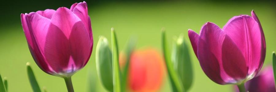 16. Backnanger Tulpenfrühling