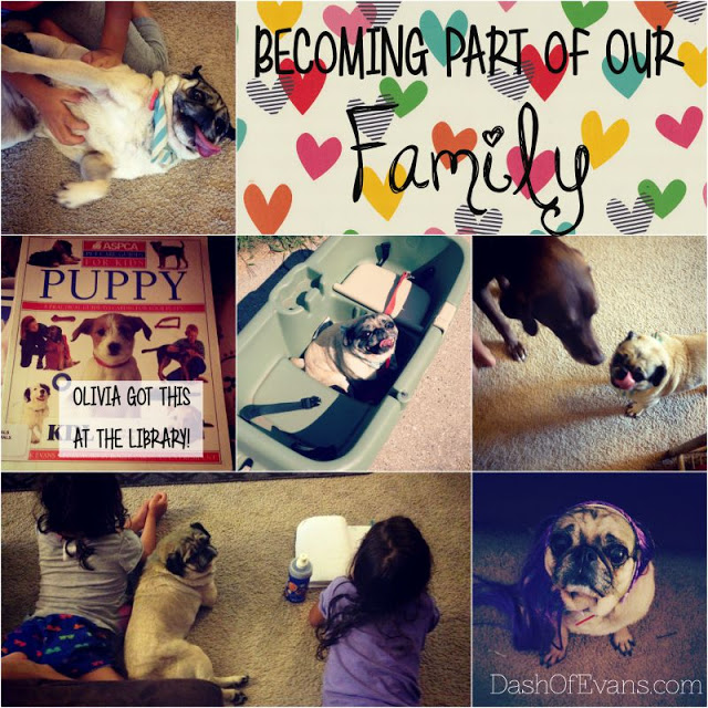#BrightMind, Pug, Adopting Dogs, Shelter Dogs, Tips for Pet Adoption