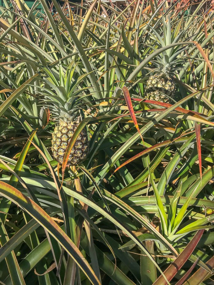 pineapples growing at Dole Plantation, Hawaii