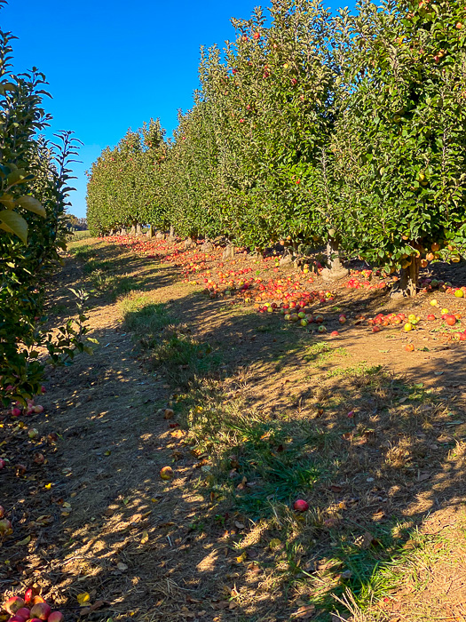 trees and apples at Mercier Orchards