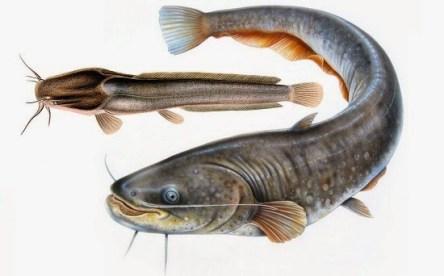Cara Membuat Pelet Ikan Lele Sendiri
