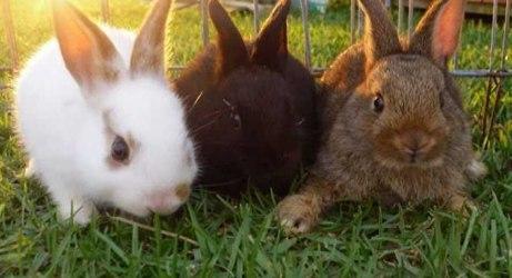 cara beternak kelinci penghasil wol