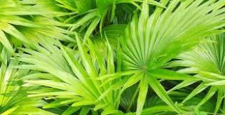 Health Flow Male Enhancement ingredients Saw palmetto